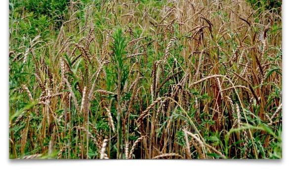 weeds-wheat1